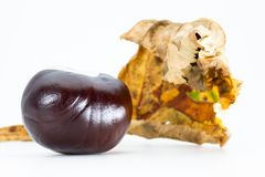 Horse-chestnut conker with autumn leaf isolated royalty free stock photo