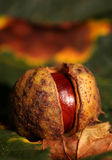 Horse chestnut conker Stock Photos