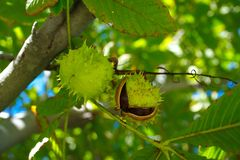 Horse chestnut. Conker. horse chestnut. used in traditional medicine. it brings luck extract green background natural forest season summer red color plant stock images