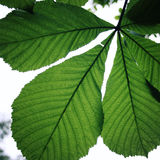Horse-chestnut or Conker tree (Aesculus hippocastanum) leaf. Stock Photos