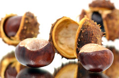 Horse-chestnut (conker tree) Royalty Free Stock Photo
