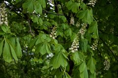 Horse Chestnut Conker Tree in bloom royalty free stock image
