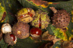 Horse chestnut conkers Stock Image