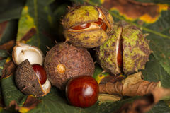 Horse chestnut conkers Royalty Free Stock Images