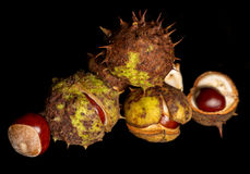 Horse chestnut conkers Royalty Free Stock Photography