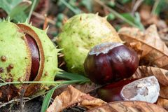 Horse-chestnut conkers in park stock photos