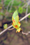 Horse chestnut flower buds on a branch Royalty Free Stock Photos