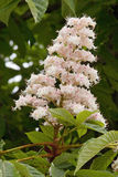 Horse chestnut flower Stock Photos