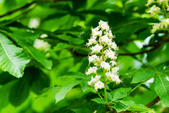 Horse-chestnut. A Horse-chestnut flower surrounded by green leaves royalty free stock images
