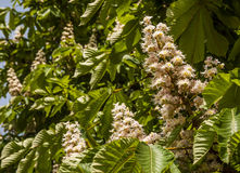 Horse chestnut flowers Stock Images