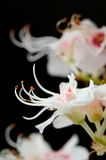 Horse Chestnut Flowers Close-Up on Black Background Royalty Free Stock Photo
