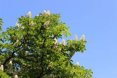 Horse-chestnut flowers Stock Images