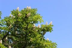 Horse-chestnut flowers Stock Images