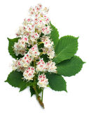 Horse-chestnut flowers and leaf royalty free stock photos