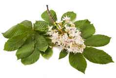 Horse-chestnut flowers and leaf. Horse-chestnut (Aesculus hippocastanum, Conker tree) flowers and leaf on a white background royalty free stock photo