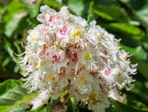 Horse-chestnut flowers and leaves, beauty and nature Stock Images