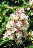 Horse-chestnut flowers and leaves, detailed natural scene Royalty Free Stock Images