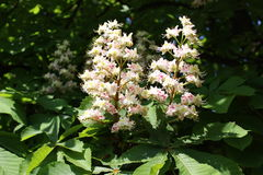 Horse-chestnut flowers Stock Photography