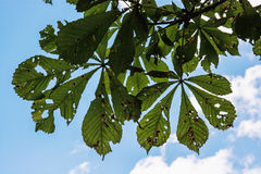Horse-chestnut green leaves, detailed natural contrast scene Royalty Free Stock Photo
