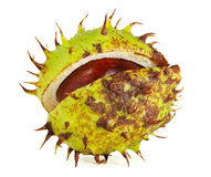 Horse Chestnut in Husk Stock Images