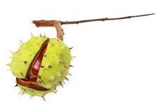 Free Horse Chestnut In Natural Shell Stock Photography - 16373322