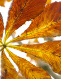 Horse Chestnut leaf Royalty Free Stock Photos