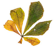 Horse chestnut leaf in autumn Royalty Free Stock Image