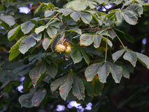 Horse chestnut with leaf blotch. Guignardia aesculi fungus blotches on horse chestnut tree leaves royalty free stock images