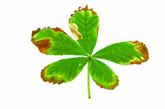 Horse Chestnut leaf with leaf miner moth Stock Photo