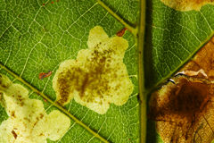Horse Chestnut Leaf Miner Stock Photography