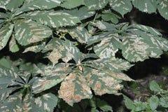 Horse-chestnut Leaf Miner Stock Photo