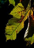 Horse-chestnut leaves Royalty Free Stock Image