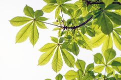 Horse chestnut leaves stock image