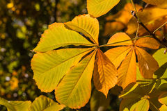 Horse chestnut leaves in autumn colors Royalty Free Stock Photos