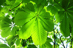 Horse chestnut leaves background Stock Photos