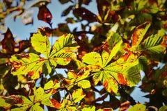 Horse chestnut leaves stock photos