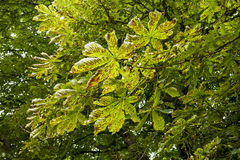 Horse Chestnut Leaves Stock Photography