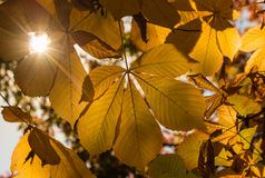 Horse-chestnut leaves with lens flare Stock Photo