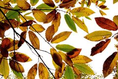 Horse Chestnut leaves, Pamber Forest, Hampshire, UK Stock Photography