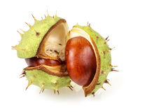 Horse chestnut in opened natural shell Stock Photography