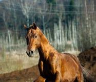 Horse chestnut Royalty Free Stock Image