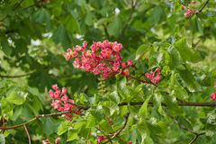 Horse chestnut pink in bloom Royalty Free Stock Photos
