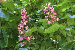 Horse chestnut pink flowers on a branch with green foliage on a sunny spring day stock photography