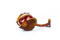 Horse chestnut seed in case Stock Image