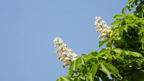 Horse Chestnut Seed Royalty Free Stock Photos