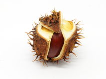 Horse chestnut seed in peel Stock Image