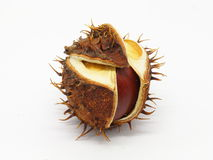 Horse chestnut seed in peel Royalty Free Stock Photography