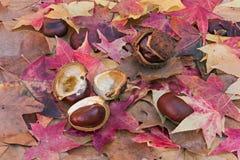 Horse Chestnut Stock Image