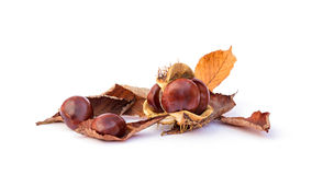 Horse Chestnut Stock Photo