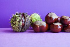Horse chestnut seeds on purple violet background. Autumn artistic still life with Aesculus hippocastanumon ripe Buckeye royalty free stock image